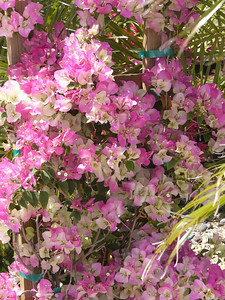 Top Notch Bougainvillea selections -- Spring 2006
