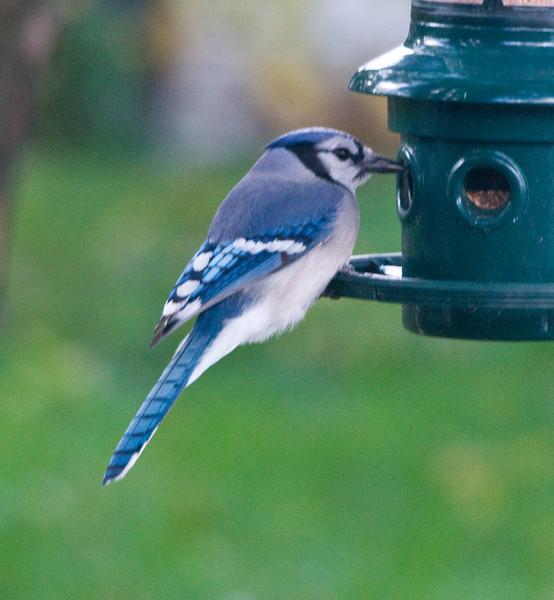 Backyard Birds 10/27/08