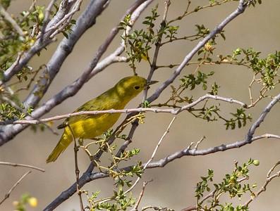 Just Utah Birds