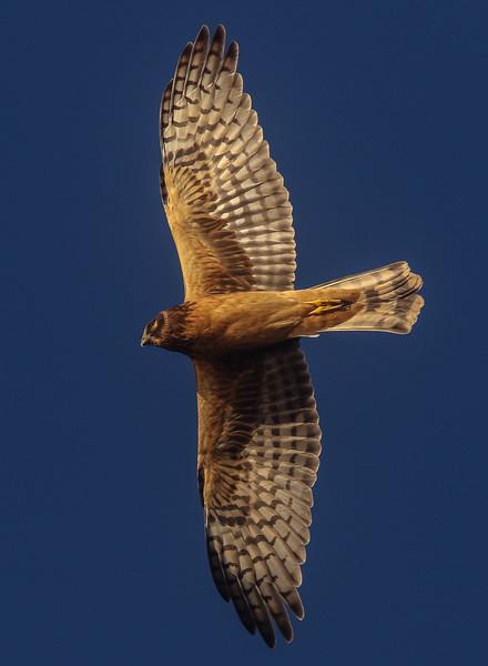 Beach Hawk
