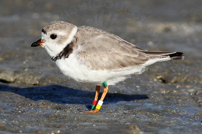 Plover, Piping