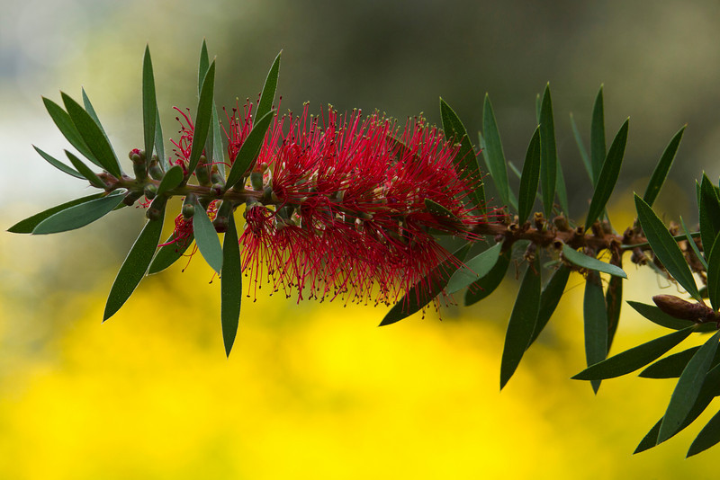 Crimson Bottlebrush (Callistemon citrinus) -  Alfred B. Maclay Gardens State Park, Florida