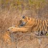 Tiger cubs playing in the grasslands in Ranthambhore national park, India