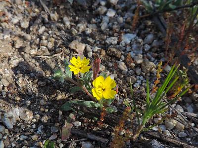Hairy Suncup (Camissoniopsis hirtella)
