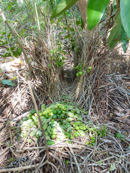 Fawn-breasted Bowerbird bower at Pacific Adventist University, Papua New Guinea (09-27-2013)-2.jpg