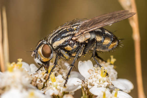 Oxysarcodexia varia - Striped dung fly