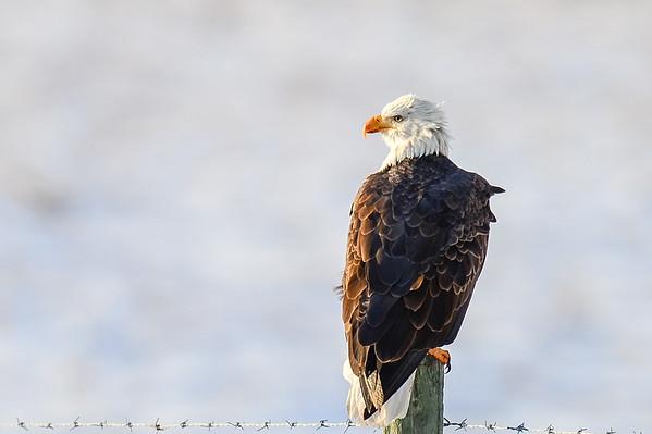 11 2012 Nov 13 Bald Eagle, Pine Gross Beaks, Leucistic Chicadee & Red-Breasted Nuthatch