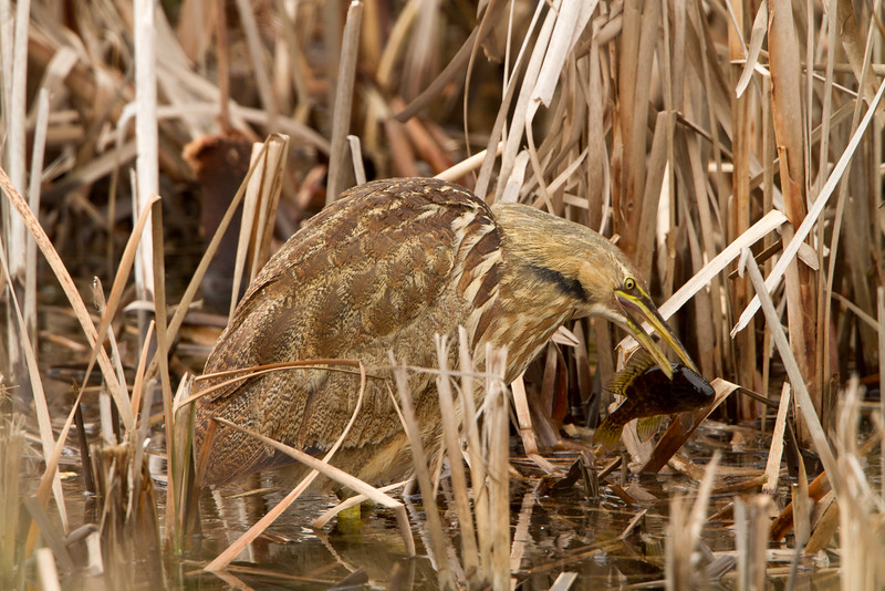 American bittern hunting warmouth