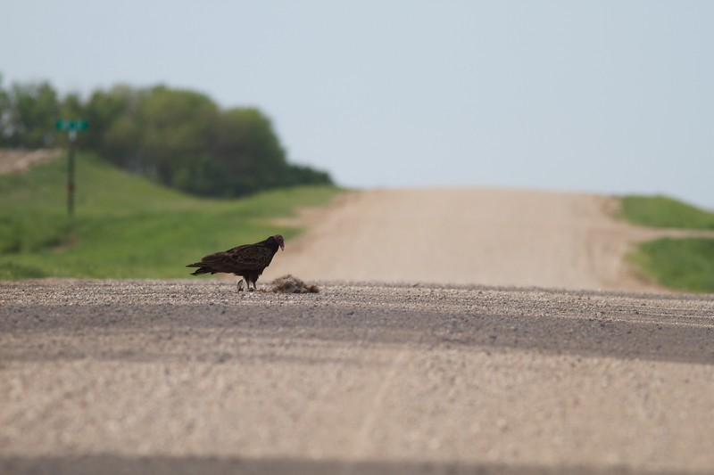 Turkey Vulture at carcass carrion road kill SW MN IMG_0342.jpg