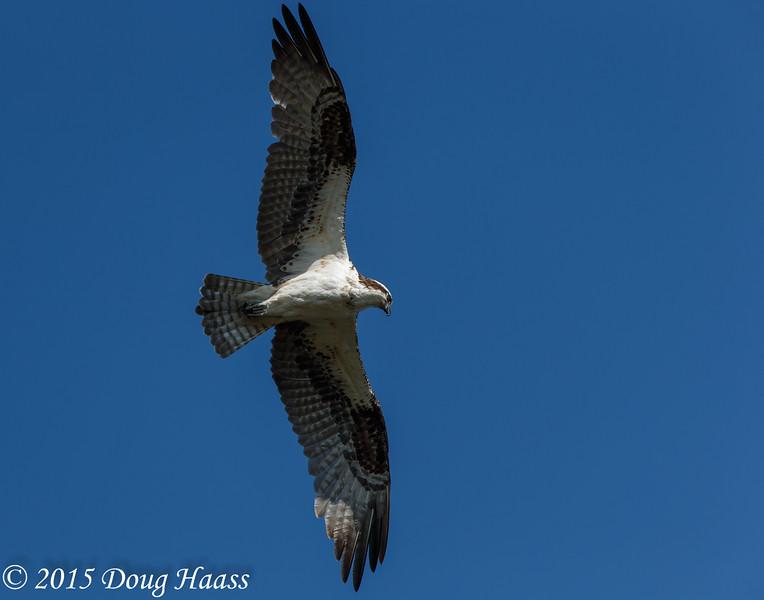 Osprey Pandion haliaetus female
