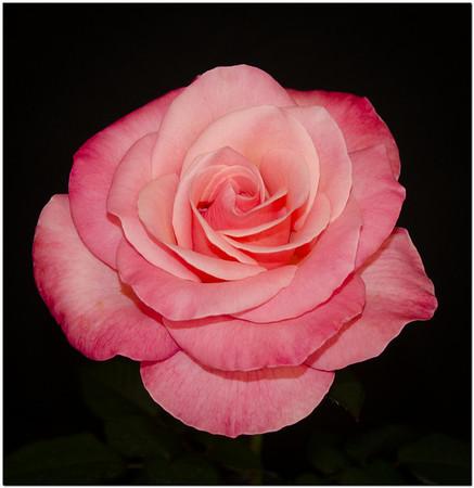 San Diego Rose Society Rose Show 2013