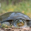 Indian softshell turtle (Nilssonia gangetica)