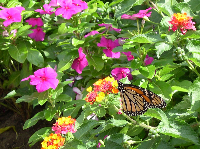 monarch431.jpg