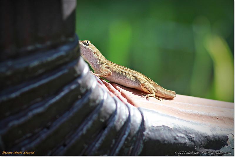 2014-06-09_IMG_1602_Brown Anole Lizard_.JPG