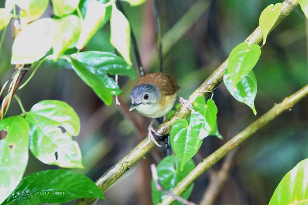 Ashy-Headed Babbler