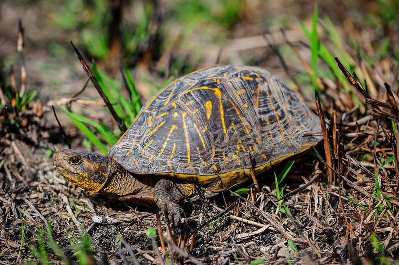 Florida Box Turtle. Terrapene bauri. Big Cypress National Preserve. Western Everglades. Florida. JPat_170227__D3S0844