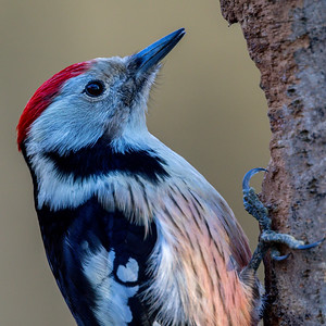 Mellomspett (Middle spotted Woodpecker)