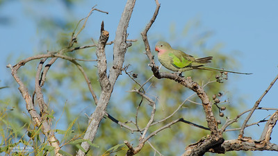 Princess Parrot (Polytelis alexandrae) NT
