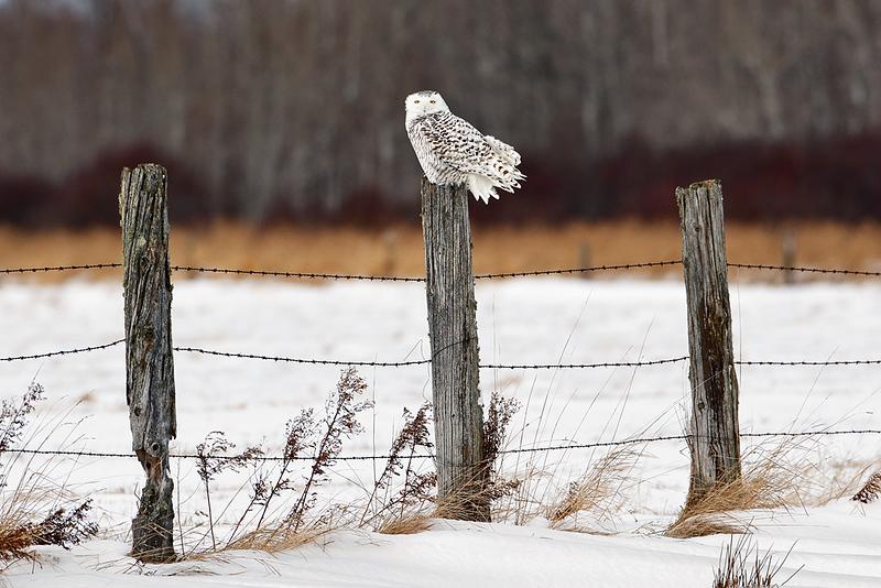 The Watchman II - Snowy Owl (Upper Michigan)
