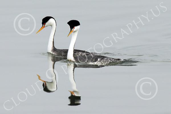 Clark's Grebe Wildlife Photography