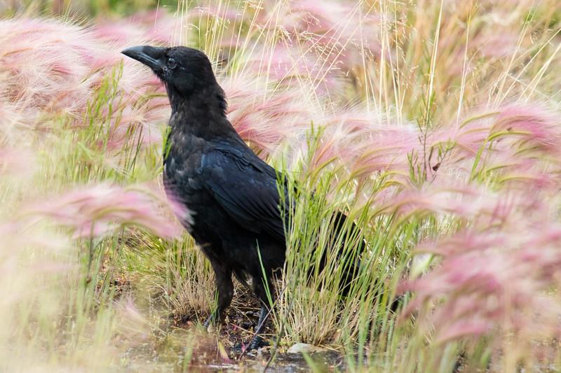 Raven in Grass 2019-1.jpg