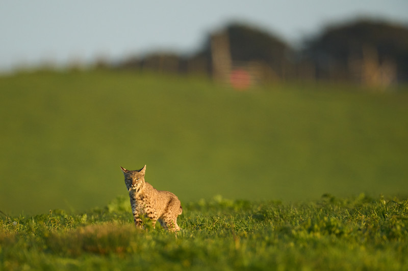Bobcat at the Ranch