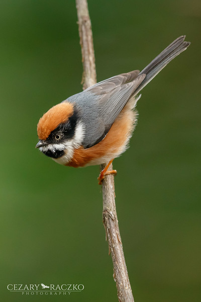 Black-throated Bushtit (Aegithalos concinnus)