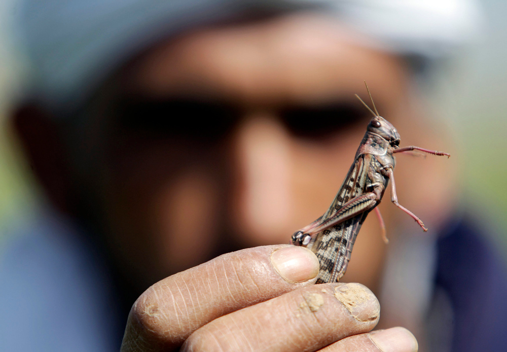 . A Palestinian farmer displays a locust at a farm in Khan Younis the southern Gaza Strip March 5, 2013. Palestinian officials said locusts had not hit Gaza in several decades and numbers of locusts that reached Gaza on Tuesday were small but the Agriculture Ministry said they have taken all necessary steps to fight it if larger numbers hit the Gaza Strip. REUTERS/Ibraheem Abu Mustafa