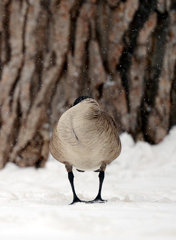 . ARVADA, CO-April 17, 2013: Finding shelter from a spring storm, a Canadian goose tucks his head back into its feathers in Arvada, April 17, 2013. Snow continues to fall as a spring storm hits much of Colorado. (Photo By RJ Sangosti/The Denver Post)