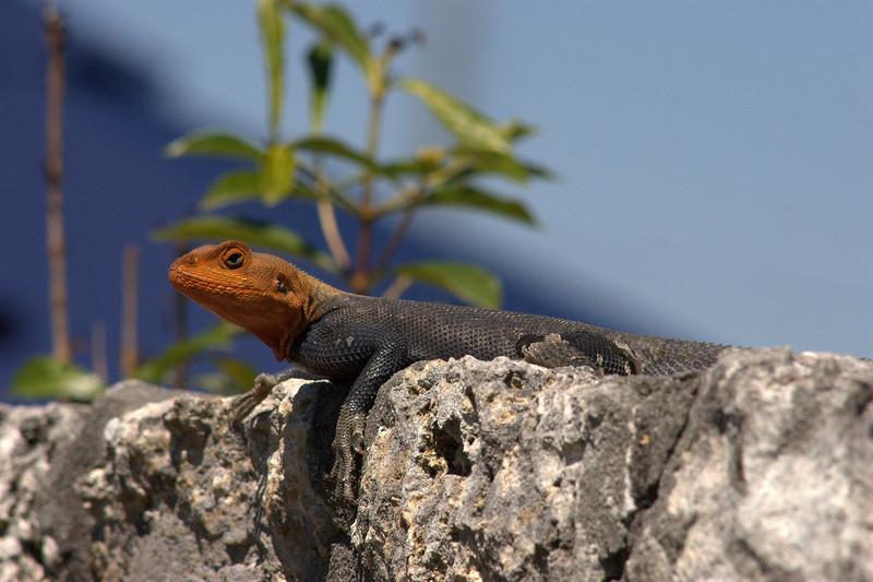 Sun-bathing lizard