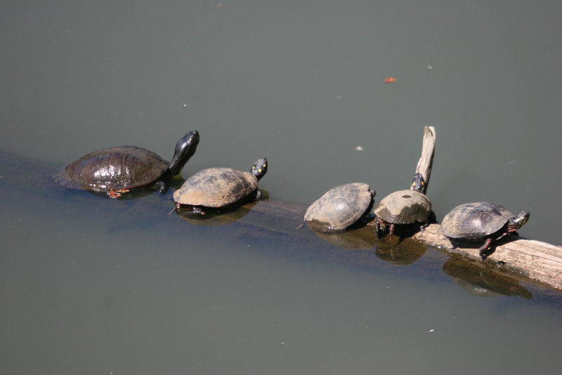 Five little turtles sitting on a log - one fell off and then there were four.....