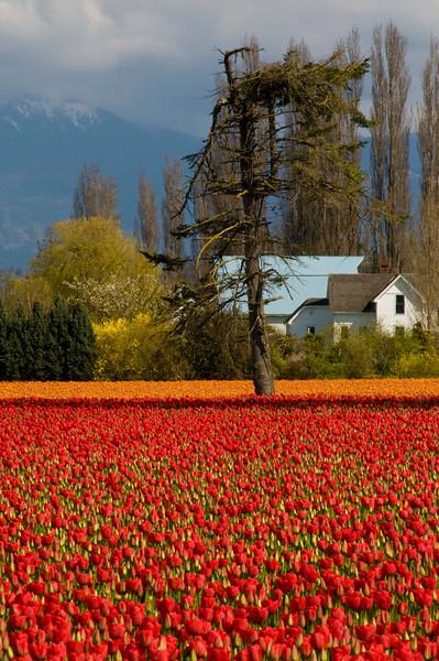 skagit_valley_tulips_2008_300_06029_roozengaarde-2-sm.jpg