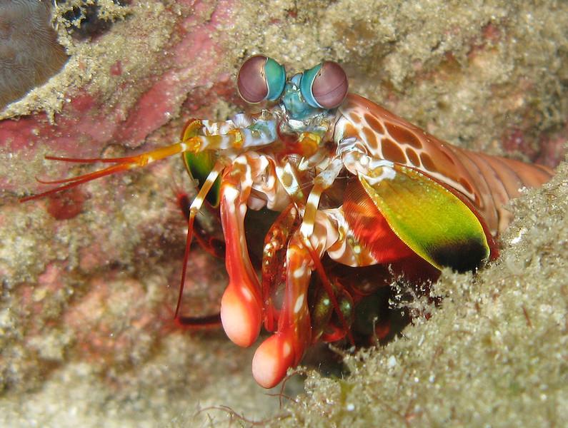 mantis-shrimp-sabah-diving.jpg