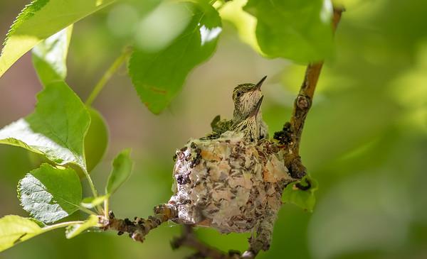 B - Hummingbird Images