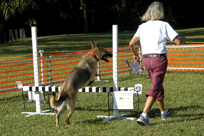 This German Shepherd then takes the bar jump in the reverse direction while competing in Rally Excellent.