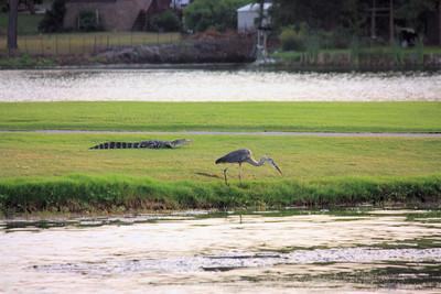 Gators Feeding Oyster Bay Lake Sunset Beach July 9 2011