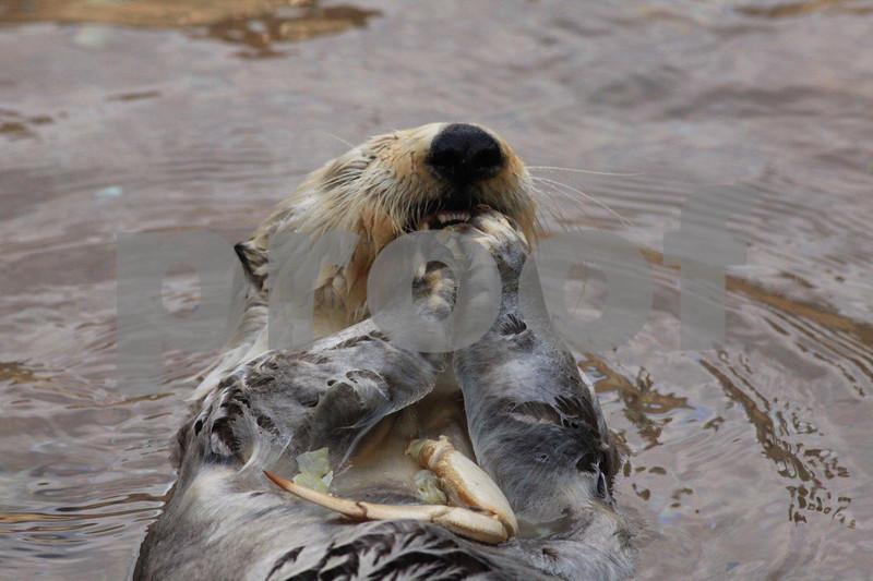 Sea otter 2925.jpg