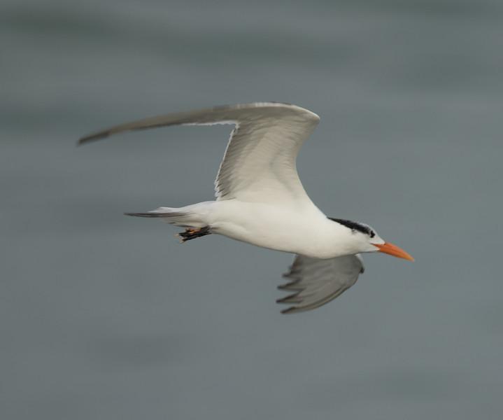 Royal Tern  Camp Pndleton 2016 12 11-2.CR2