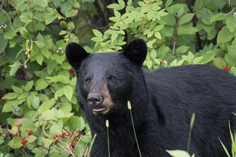 Black Bear Alcan Highway -7.jpg