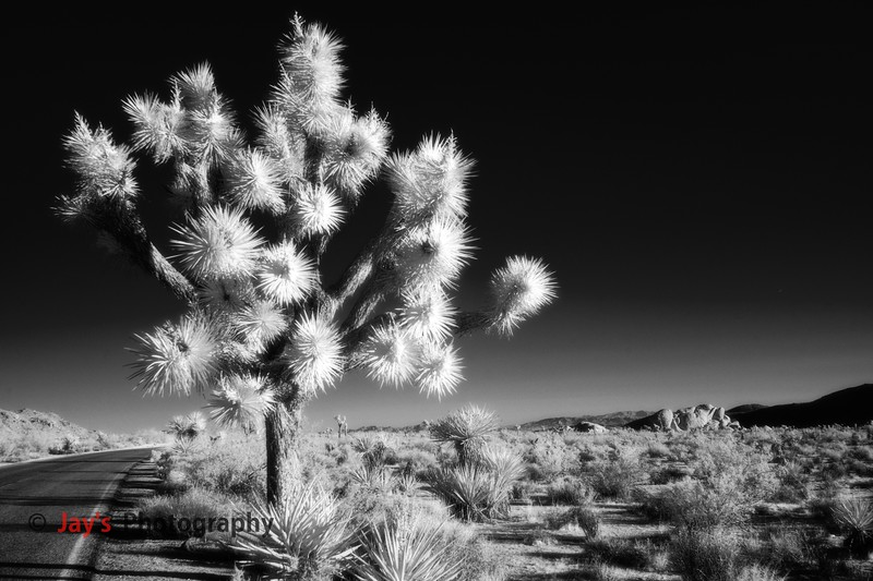 DSCF4776_infrared_iridentJoshua_Tree_NP copy copy.jpg