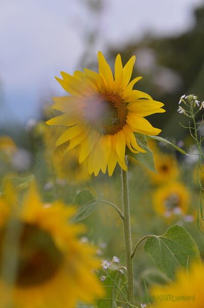 Sunflower Lonay_20092020 (68).JPG