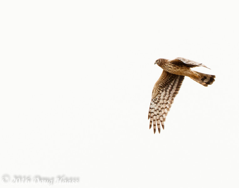 Female Northern Harrier Circus cyaneus