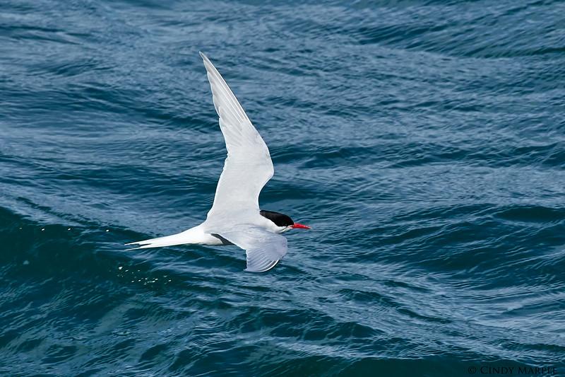 Antarctic_Tern_1.jpg