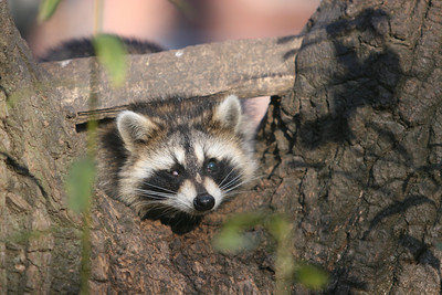 YOUNG RACOON (ONE EYE & NO TAIL