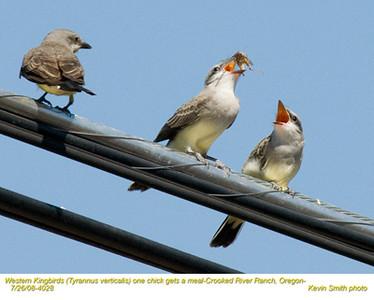 WesternKingbirdsA&J4028.jpg