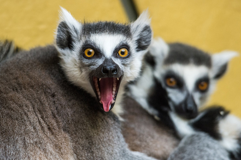 . A ring-tailed lemur  at the Tierpark zoo in Straubing, southern Germany on March 25, 2013. AFP PHOTO / ARMIN WEIGEL