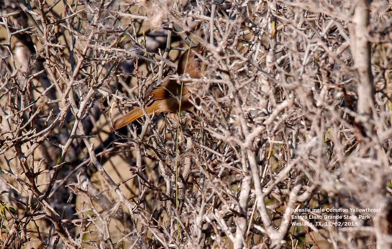IMG_9063 3T juv ml Common Yellowthroat Estero Llano Grande state park.jpg