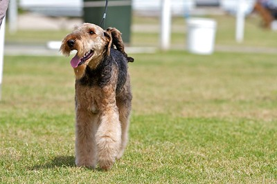 .Other Airedale Terriers