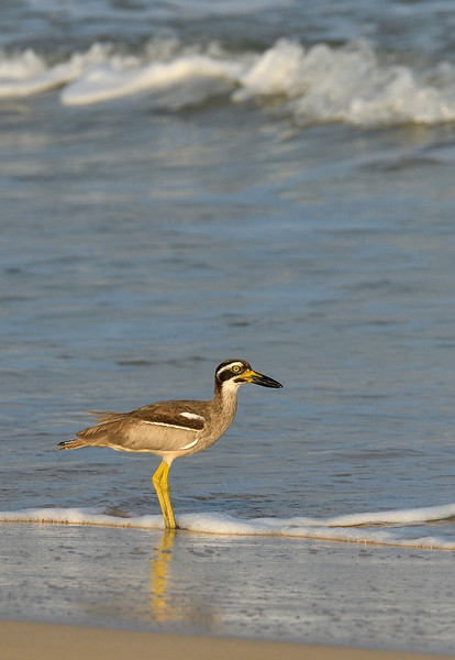 Beach-thick-knee-stone-curlew-Andamans-Little-Andaman-1.jpg