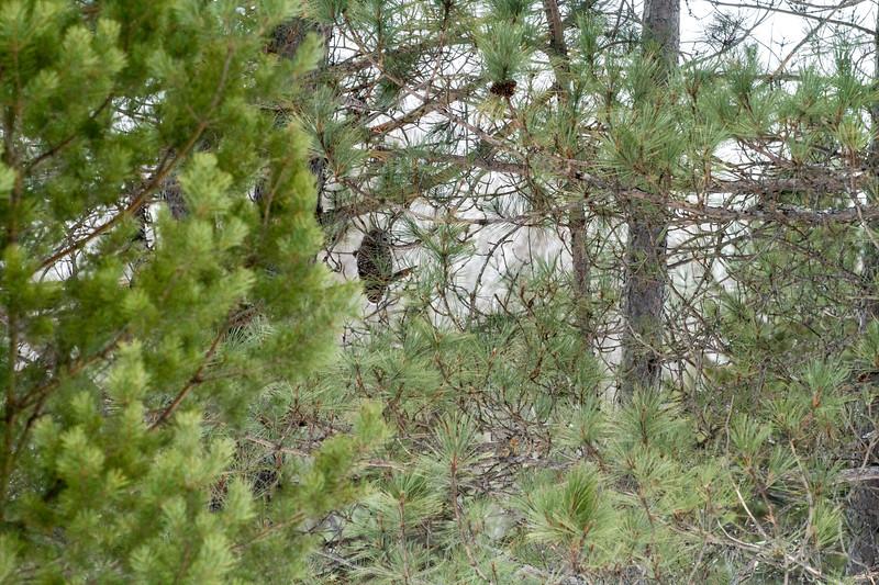 Barred Owl hunting Yellow-bellied Bog Peary Road Sax-Zim Bog MN IMG_0249.jpg